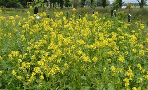 bloemen geel lange steel tuin onkruid paradijsvogelbosje oosterwold