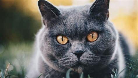 Rimi - Britu īsspalvainais kaķis - piemīlīgais aristokrāts