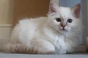 birman cat amazing dogs breeds birman cat
