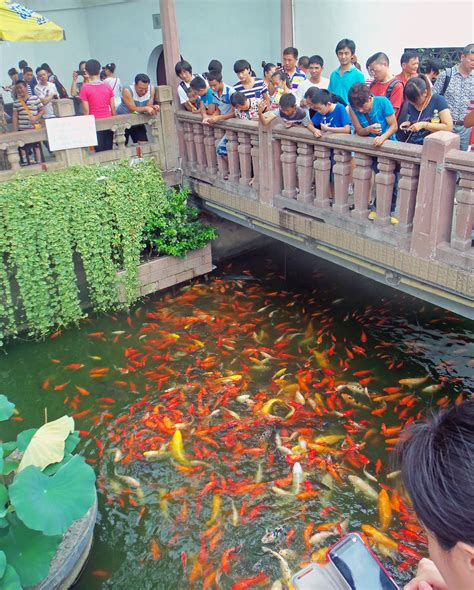 size of pond file goldfish feeding frenzy in pond at yuyuan gardens jpg wikimedia commons