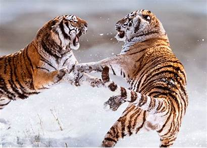 Tiger Siberian Tigers Kaempfende Fighting Postcard China