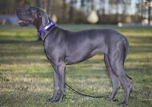 Great Dane Dog Breed Information, Buying Advice, Photos ...