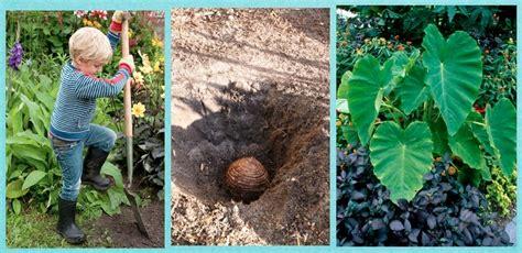 when to dig up elephant ear bulbs elephants in the garden materials 1 elephant ear bulb mammoth shovel soil 1 find a