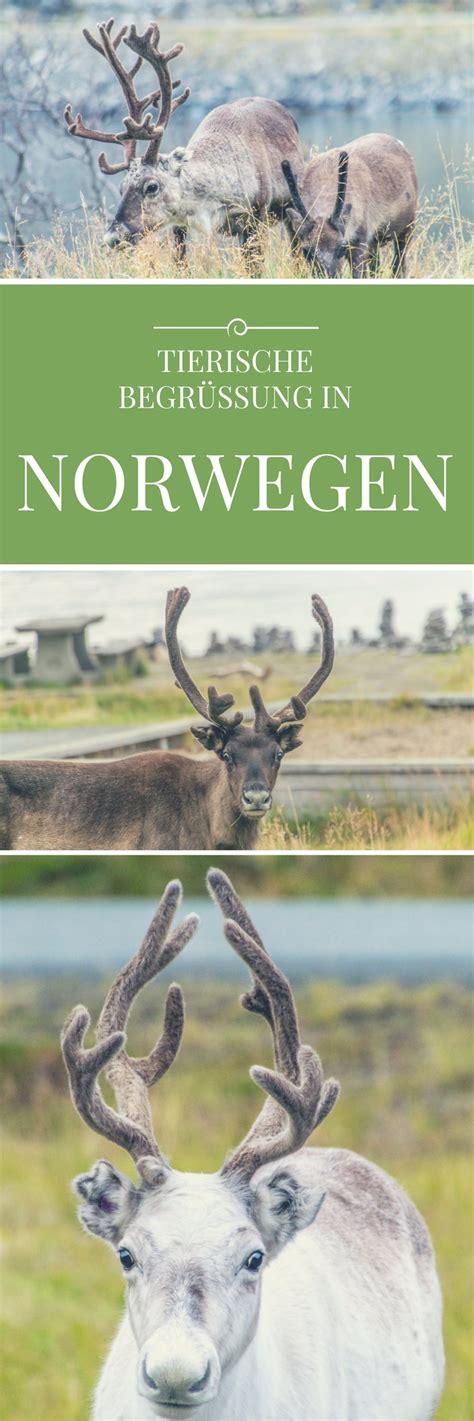 urlaub in norwegen was muß ich beachten weg zum nordkap rentiere norwegen reiseideen vanlife tipps norwegen cing norwegen