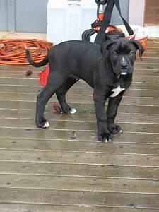 Black Lab Boxer Pitbull Mix Made In America   Boxer dogs ...