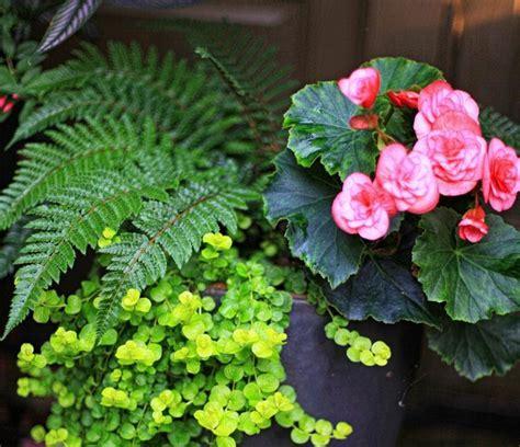 entretien fougere en pot plante foug 232 re d ext 233 rieur culture entretien et compositions