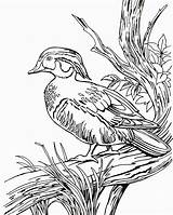 Duck Coloring Wood Pages Hunting Ducks Drawing Printable Line Realistic Print Clipart Dog Drawings Coon Wild Mallard Getdrawings Hunter Getcolorings sketch template