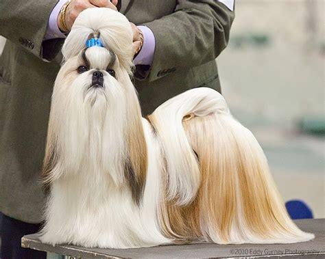 dog show poop shih tzu tops  mi