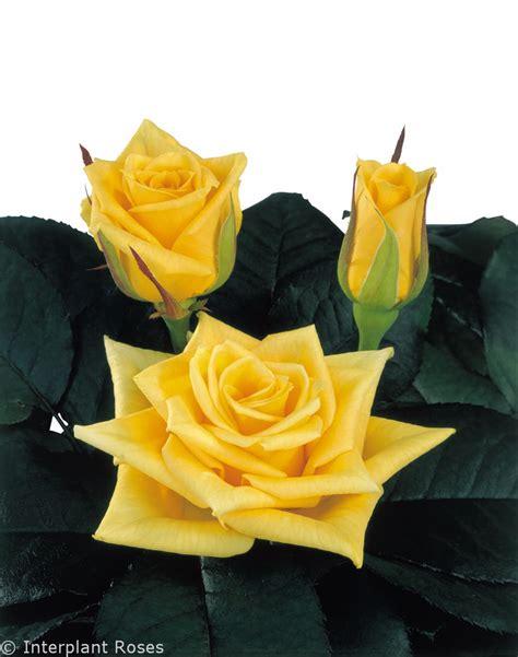 Chelsea Yellow yellow chelsea 174 interplant roses