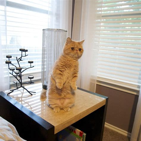 Cat Standing On Two Feet by George The Cat Stands On Two Legs Thinks He S Human