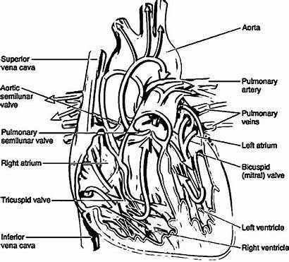 Coloring Anatomy Pages Heart Biology Physiology System