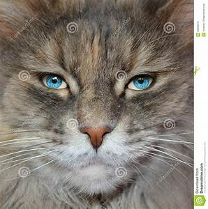 Cat with human eyes. stock photo. Image of eyes, domestic ...