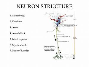 Neuron Structure