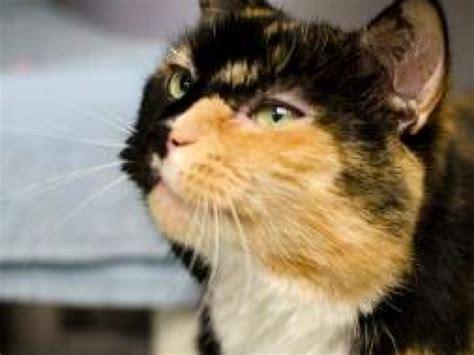 meet  beautiful calico cat named cleo  pet