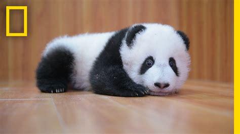Raising Cute Pandas: It's Complicated