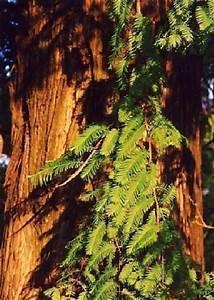 Zwergflieder Auf Stamm : tropica urwelt mammutbaum metasequoia ~ Lizthompson.info Haus und Dekorationen