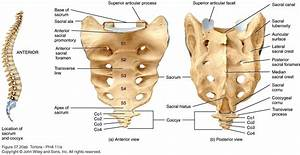 Your Sacrum & Your Coccyx | Clearview Chiropractic  Coccyx