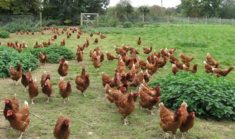 save  hens   slaughter house nature