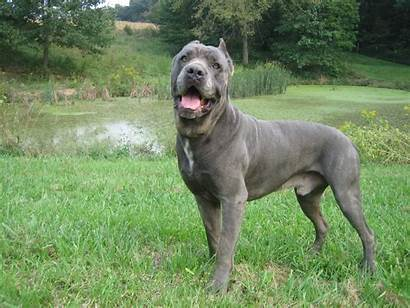 Corso Cane Dog Breeds King Puppies Breed