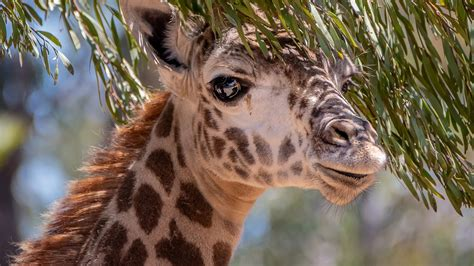 Animal 4k Wallpaper - wallpaper giraffe animals 4k animals 19575