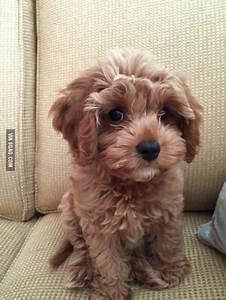 25 Best Ideas About Poodle Mix Puppies On Pinterest