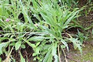 Pflanzen Bestimmen Nach Bildern : rasenunkr uter 23 unkr uter mit bildern bestimmen richtig bek mpfen ~ Eleganceandgraceweddings.com Haus und Dekorationen