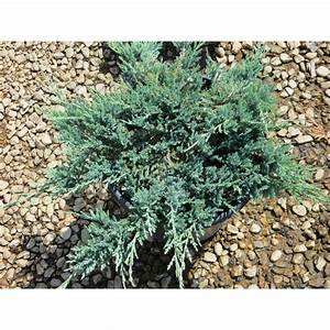 Juniperus horizontalis 'Blue Chip' - Ground Covers - Plant ...