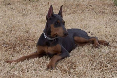 Mini Doberman Pinscher Shedding by Thai Bangkaew Breed Images Models Picture