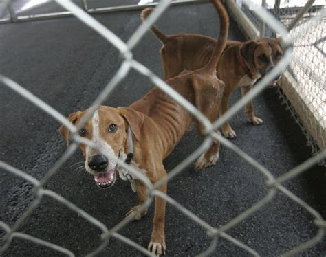 abused dogs recovering   rescued  south