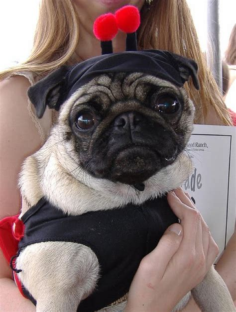 sad pugs  costumes damn cool pictures