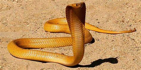 cape cobra kimberley city info