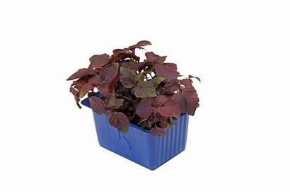 Shiso Purple Cress Tallo Purpura Veggipedia Lilla