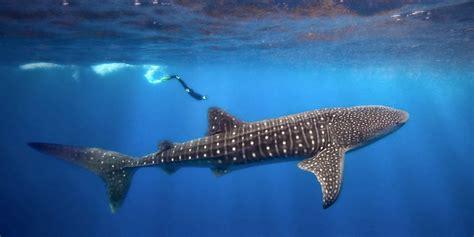 Où nager, voir, plonger avec des requins baleine