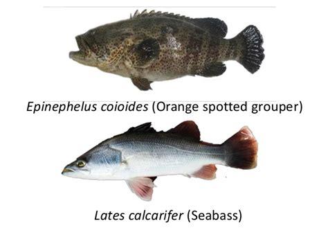 hatchery fish grouper orange epinephelus area spotted