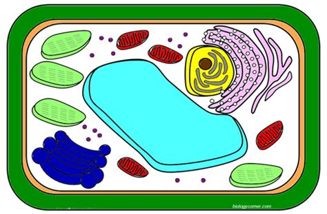 animal  plant cell coloring worksheet answers key
