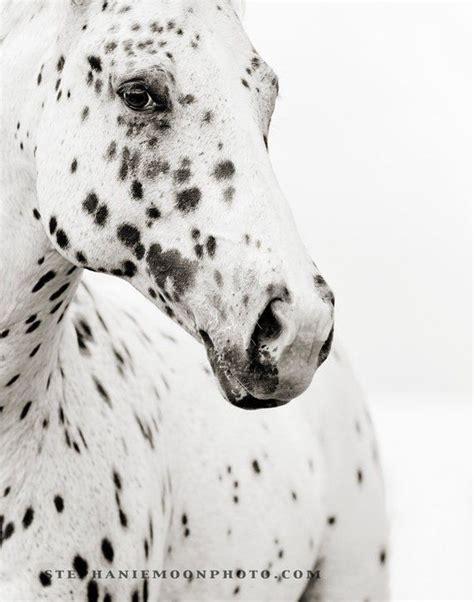 horse spots horses born appaloosa