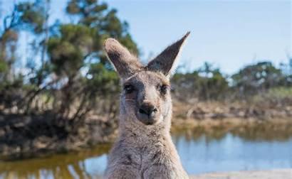 Kangaroo Hench Town Australian Attitude Bad Riot