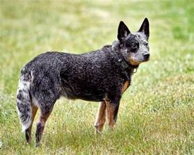 why is my australian shepherd red heeler mix puppy