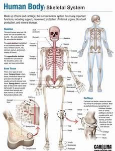 Skeletal System Joints Diagram