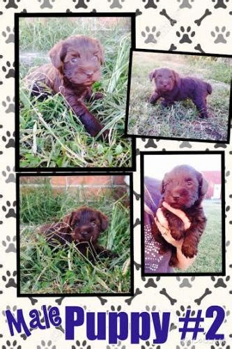 bloodhound puppies for s**e in north texas