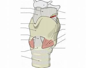 Human Anatomy  Larynx