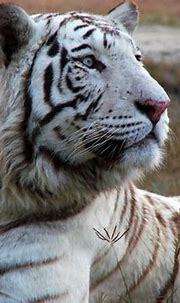 Who is there? | A white bengal tiger at Lahore Wildlife ...