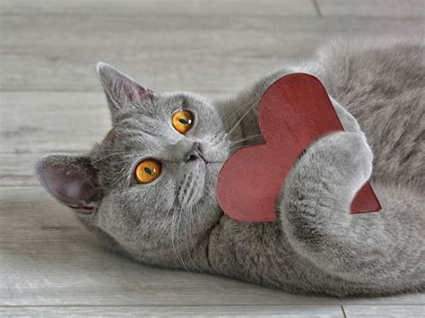 valentines day cats    lovable  hurts woman