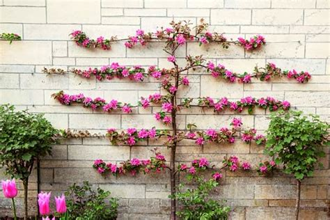 Blue Starr Gallery Espalier Decorative And Functional