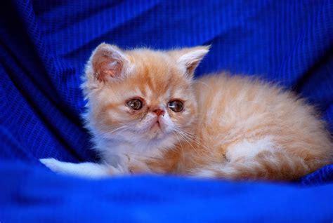 Gatti Persiani Esotici - allevamento shirin gatti persiani ed esotici cuccioli
