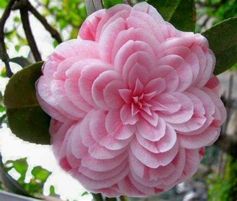 alabamas state flowercamelia flowers pinterest
