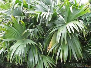 Plante Tropicale D Intérieur : plante tropicale d interieur digpres ~ Melissatoandfro.com Idées de Décoration