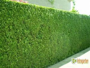 Kleinwüchsige Immergrüne Hecke : thuja brabant heckenpflanze 160 180 cm immergr ne hecke ~ Lizthompson.info Haus und Dekorationen