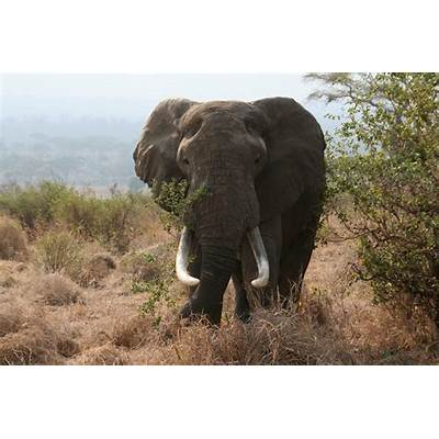 African (Bush) Elephant Pictorial