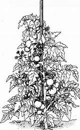 Tomato Plant Colouring Plants Cliparts Vine Pages Vegetable Supports Lot Stake Drawing Grovida Fruit Ornate Sprawl Strong Let Space Take sketch template